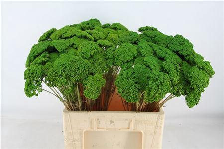 <h4>Achillea L.groen</h4>