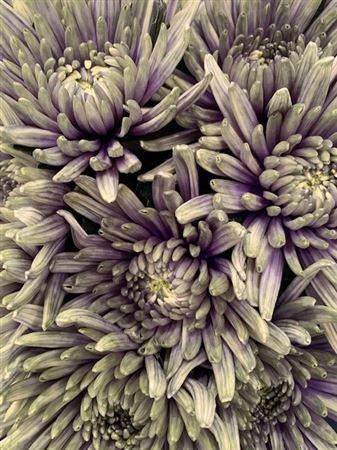 <h4>Chr G Topspin Purple Fresh</h4>