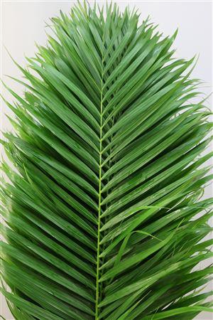 <h4>Kentia Palm 120</h4>