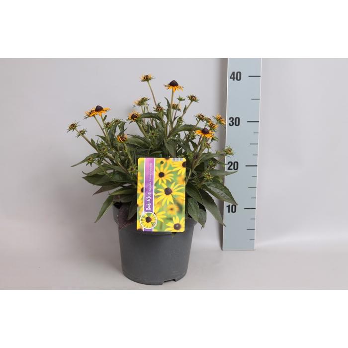 <h4>vaste planten 19 cm  Rudbeckia Little Goldstar</h4>