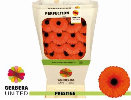<h4>Gerbera Prestige</h4>