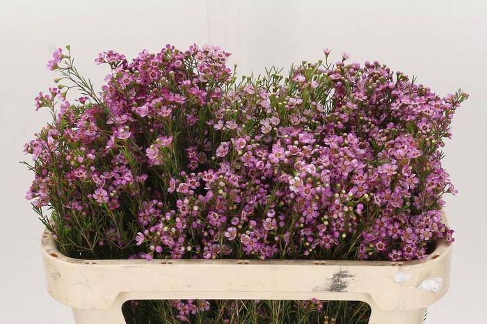 <h4>Chamelaucium Un Purple Pride</h4>