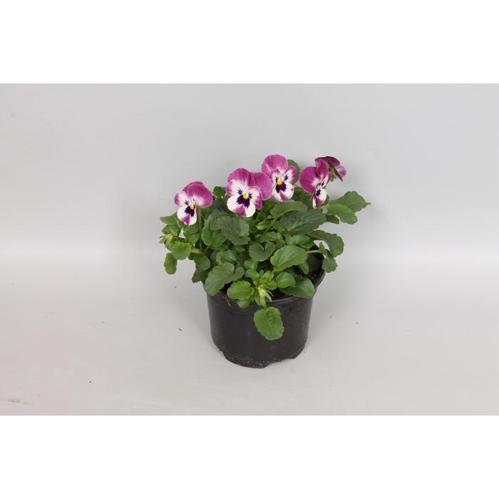 <h4>Viola cornuta F1 Raspberry</h4>