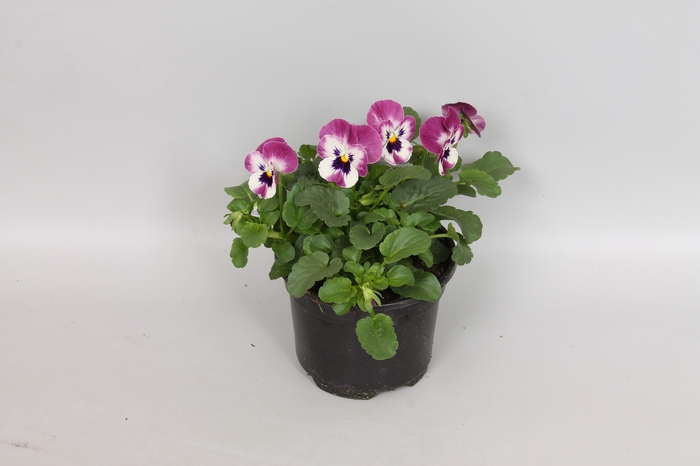 Viola cornuta F1 Raspberry