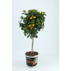 Basilicum (ocimum) op stam