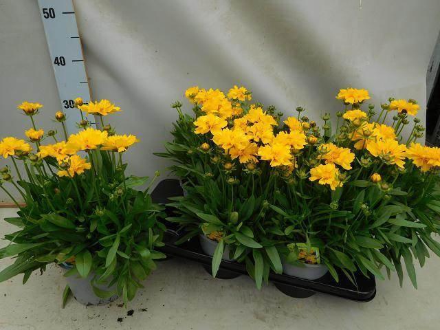 <h4>Coreopsis Presto</h4>