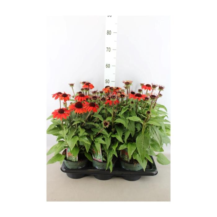 <h4>Echinacea  'Sombrero Salsa Red'</h4>