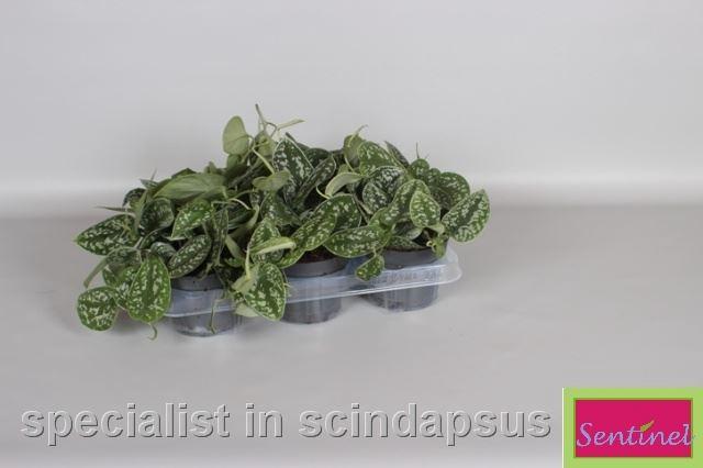 <h4>Scindapsus Pict. Argyraeus</h4>