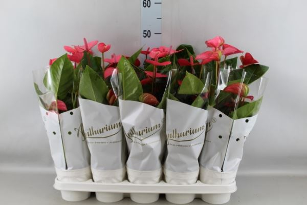 Anthurium andr. 'Pink Champion'