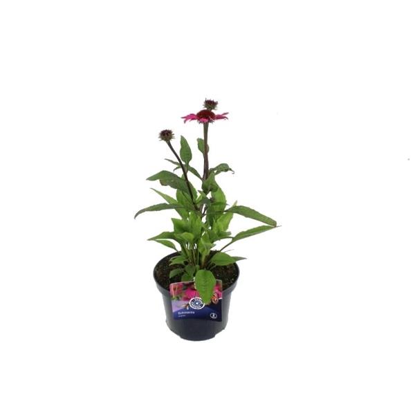 <h4>Echinacea Purp. Rose</h4>
