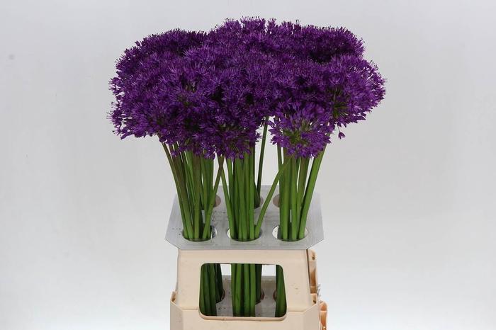 <h4>Allium Afl Purper Se</h4>