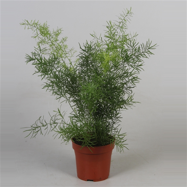 <h4>Asparagus densiflorus 'Sprengeri'</h4>