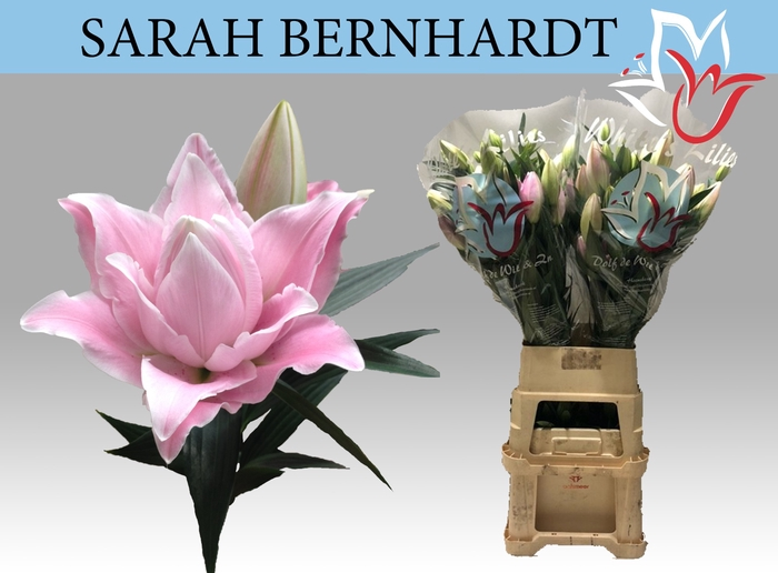 <h4>LI OR SARAH BERNHARD</h4>