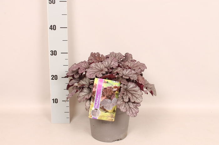 vaste planten 19 cm  Heuchera Huckleberry