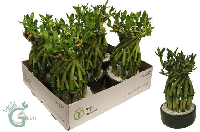 <h4>Dracaena sandriana  Lucky Bamboo 13Ø 22cm</h4>