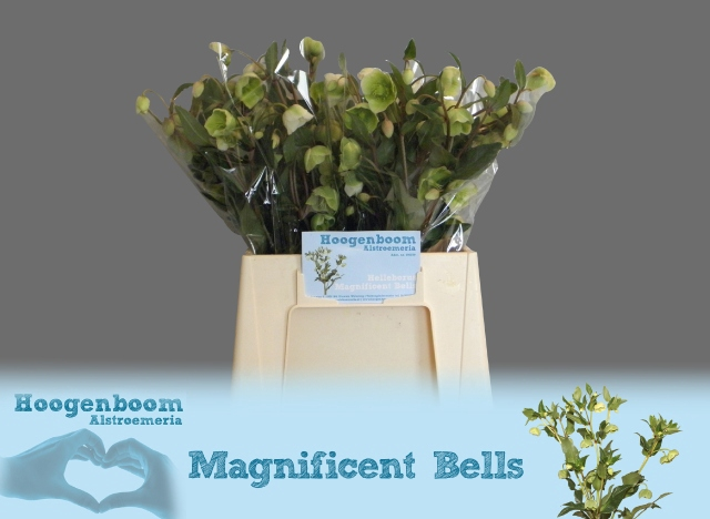 <h4>HELL  MAGNIFIC BELLS</h4>