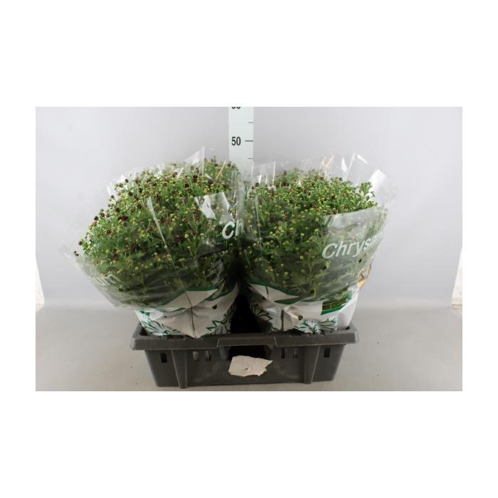 <h4>Chrysanthemum  'Jasoda Red'</h4>