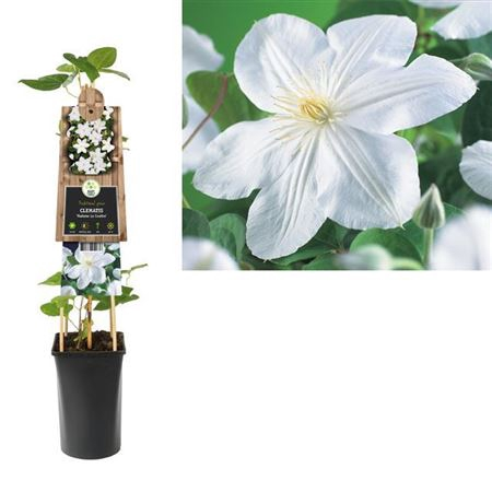 <h4>Clematis Madame Le Coultre</h4>