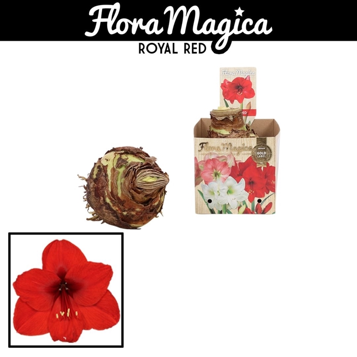 <h4>arr.. Amaryllis VH - 42/44 Red in bulb box</h4>