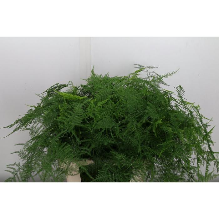 <h4>Asparagus Setaceus Extra Veer</h4>
