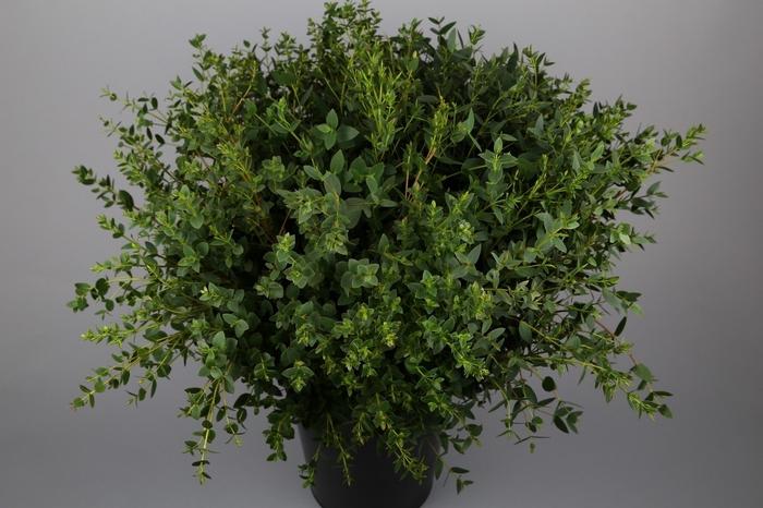<h4>Euc. Parvifolia BQ</h4>