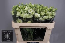 <h4>Lisianthus verde Holanda</h4>