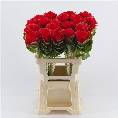 <h4>Brassica Red</h4>