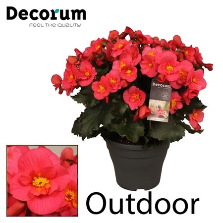 <h4>Begonia ''belove Pink'' Outdoor</h4>