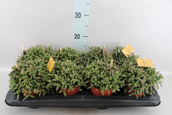 <h4>Rhipsalis burchellii</h4>