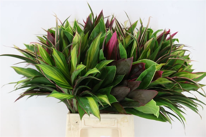 <h4>Cordyline Rainbow Mix</h4>