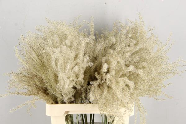 <h4>Df Miscanthus Dry Feather</h4>