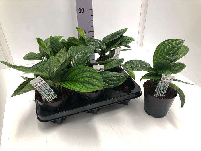 <h4>Epipremnum pinnatum Marable Plantet 12Ø 25cm</h4>