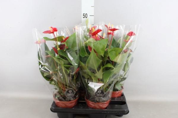 <h4>Anthurium  'Pr. Ariane Red'</h4>