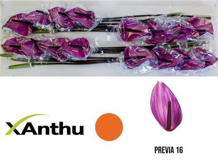 <h4>ANTH A PREVIA X16</h4>