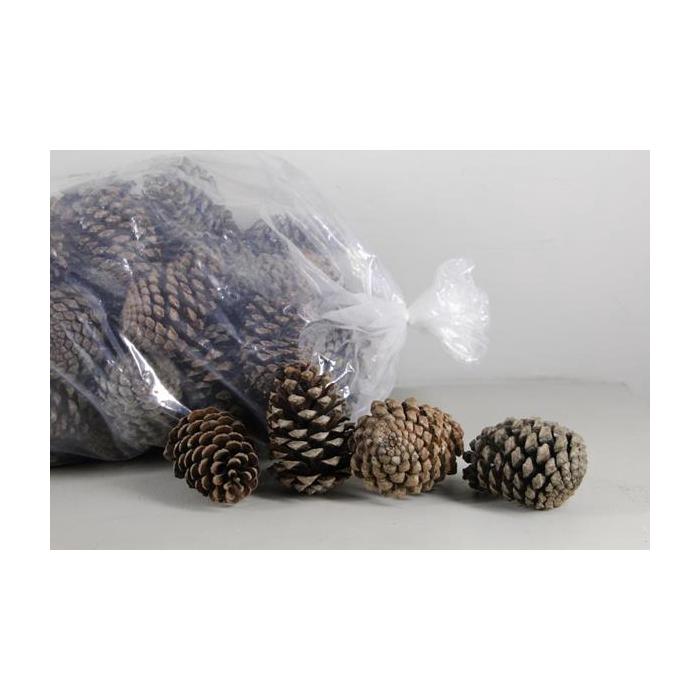 <h4>Pine Cone Maritima Nat.bag(100</h4>