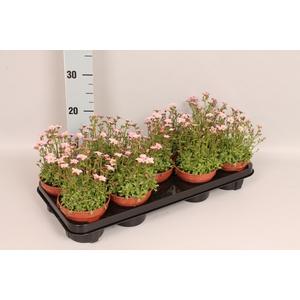 vaste planten 12 cm Saxifraga Pink