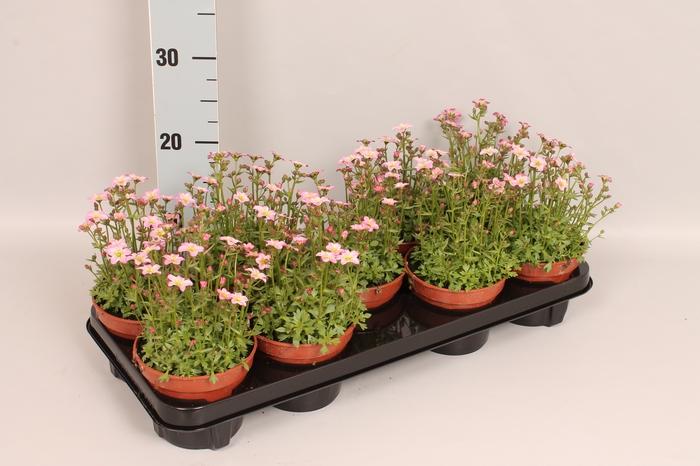 <h4>vaste planten 12 cm Saxifraga Pink</h4>