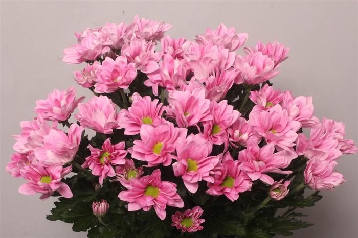 <h4>Chrysant T Grand Pink</h4>