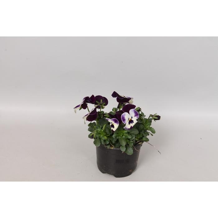 <h4>Viola cornuta F1 Cuty</h4>