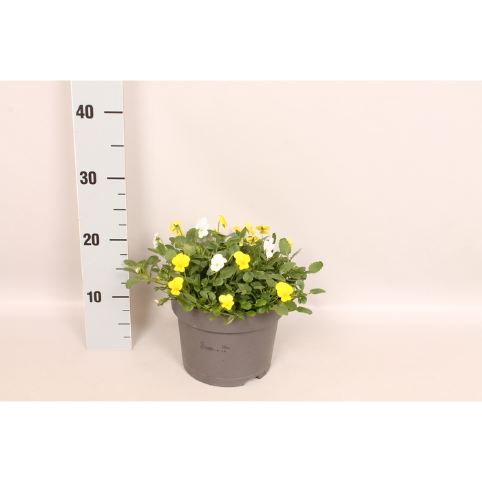 <h4>Viola cornuta 19 cm Yellow white</h4>