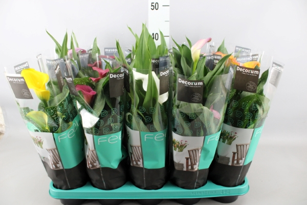 <h4>Zantedeschia   ...mix</h4>
