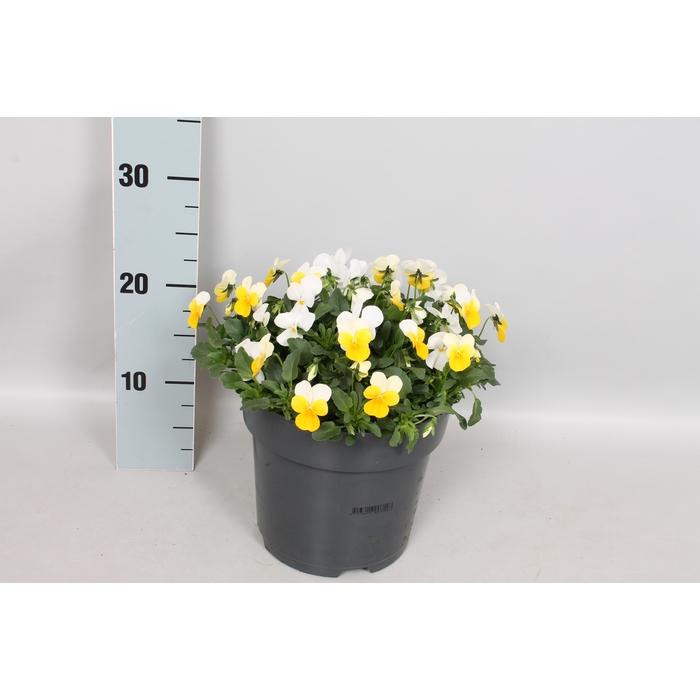 <h4>Viola cornuta 19 cm Yellow white</h4>