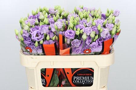 <h4>Eust G Corelli Lavender</h4>