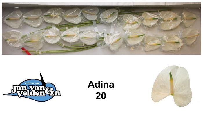 <h4>Adina 20</h4>