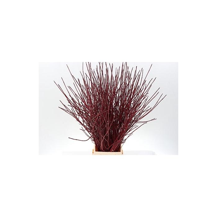 <h4>Cornus Alba Sibirica Vert</h4>