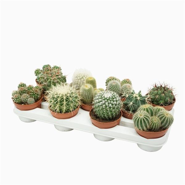 <h4>Bolcactus mix 10,5 cm.</h4>