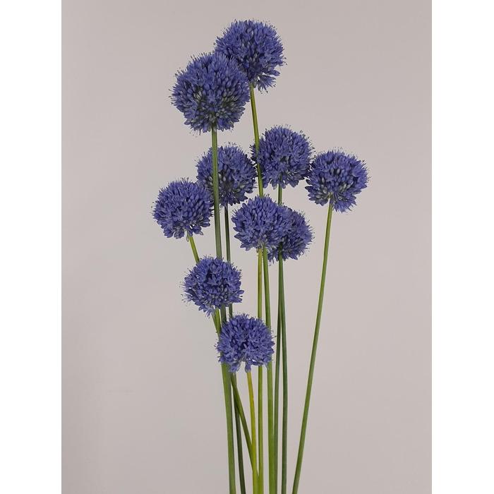 <h4>Allium True Blue</h4>