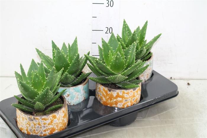 <h4>Aloe Mitriformis In Luuk Keramiek</h4>