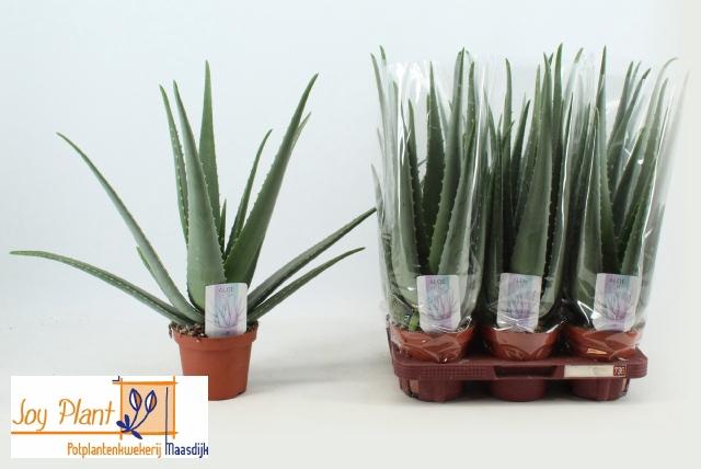 <h4>Aloe Vera 14Ø 50cm</h4>