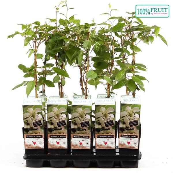 <h4>Actinidia arguta weikii - Male - 100%FRUIT</h4>